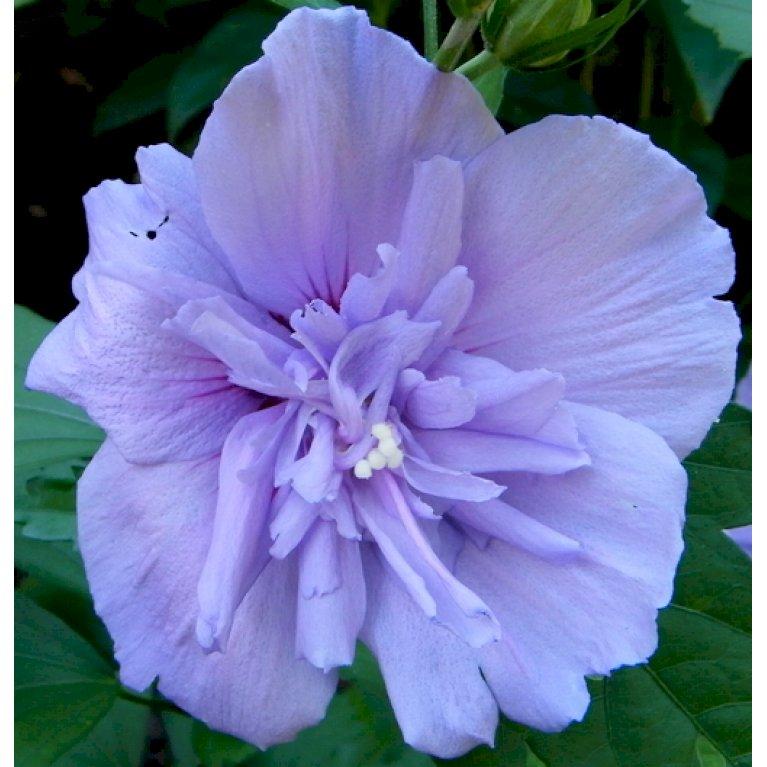 Syrisk Rose 'Blue Chiffon'