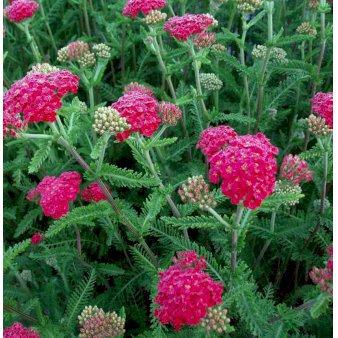 Mi117 Achillea Millefolium Sammetriese 788b
