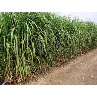 Japansk Bambus Pseudosasa Japonica Plantetorvet Dk