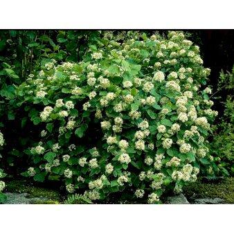 Mi1684 Physocarpus Opulifolius 6042