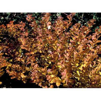 Mi2436 Spiraea Betulifolia Tor 6f05