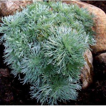 Mi244 Artemisia Schmidtiana Nana E8f4