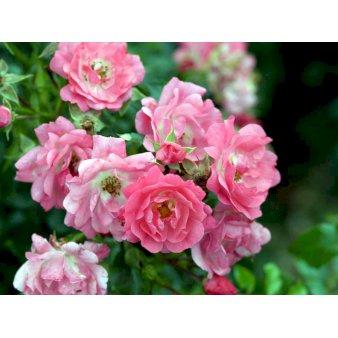 Rørig Bunddækkeroser. Køb bunddækkende roser til haven - Plantetorvet.dk PP-03