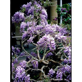 Blåregn - Wisteria sinensis - Plantetorvet.dk