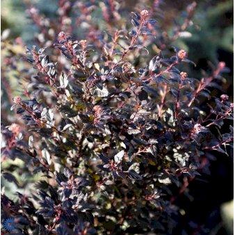 P12856 36138 Physocarpus Opulifolius Little Devil 521e