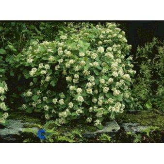 P1453 1178 Physocarpus Opulifolius D48a