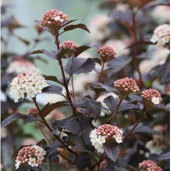 P1455 36139 Physocarpus Opulifolius Diabolo C79c