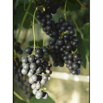 Vin 'Schuyler' - Plantetorvet.dk
