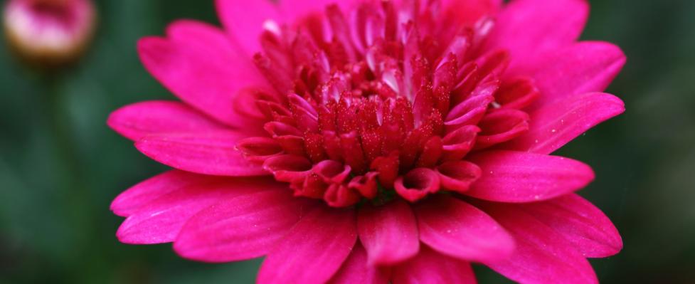 Margerit med dobbelt blomst