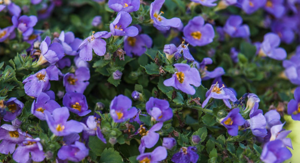 Bacopa kræver næsten ingen pasning og er flotte i altankasser