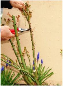 4. Til sidst klippes alle sunde grene over en udadvendt knop. Snittet bør være ca. 60 grader og ligge 2-3 mm. over knoppen. Klippehøjden bør være mellem halvdelen og 2/3 af rosens oprindelige højde. Denne rose var inden vinterens studsning ca. 1,4 meter høj, og blev klippet ned til ca. 70 cm. 5. Samme sommer, her midt i juli, står den samme buketrose 'Astrid Lindgren', der på sidste side blev beskåret, med de første blomsterklaser, og endnu flere er på vej.