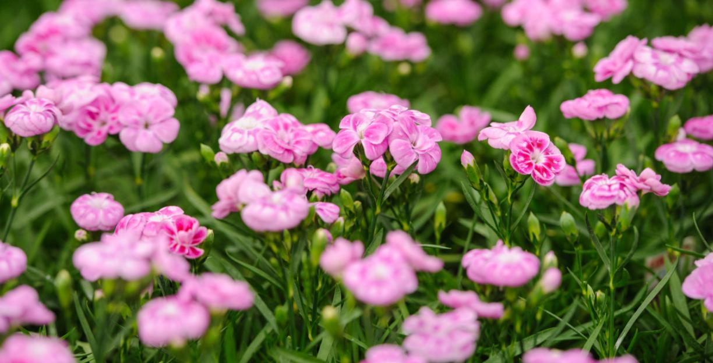 Smukke, lyserøde nelliker i blomst.