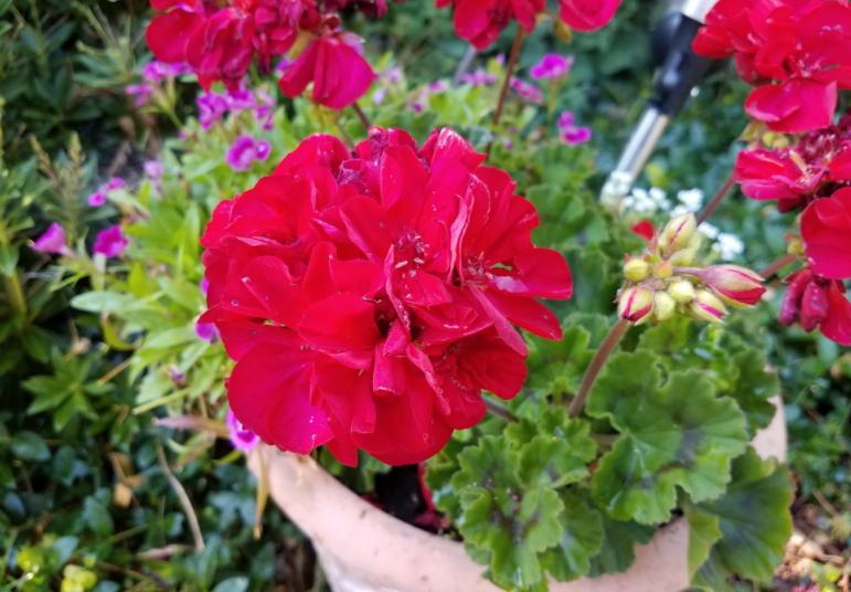 Hvilke sommerblomster kan du plante i april måned?
