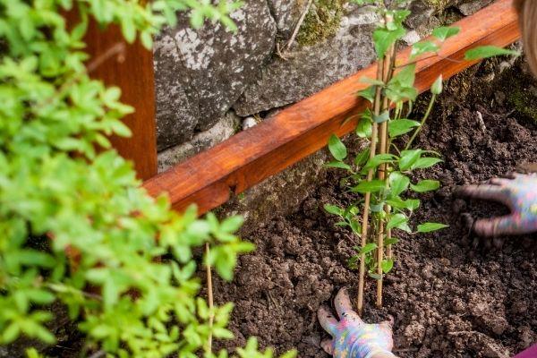 Sådan planter du din klematis