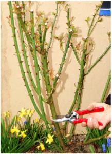 2. Så fjernes de ældste og tidligere meget klippede grene, enten over en sund yngre gren eller ved jordoverfladen.