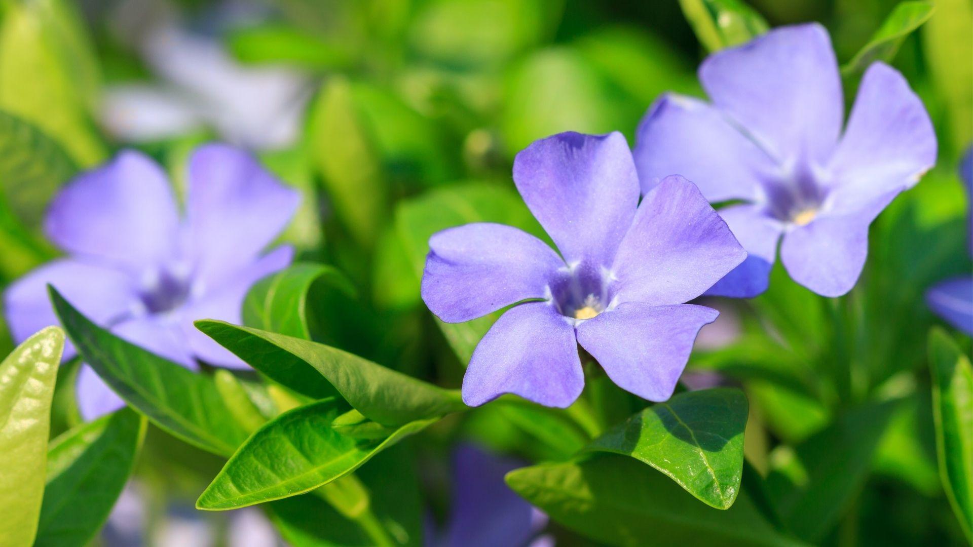 Vinca - en af tidens mest populære bunddækkeplanter