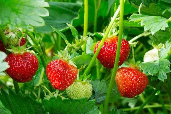6 lækre jordbær til haven