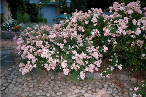 Det enkelte snit er ikke særlig korrekt ved denne klippe-metode, men roserne skyder villigt, og som det ses her, står roserne midt i august, med en overdådig blomstring.