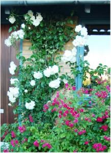 I løbet af sommeren vil den klippede rose blomstre på de nye skud, lige så flittigt som denne.