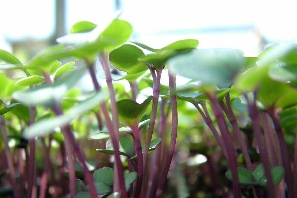 8 lækre frø til mikrogrønt