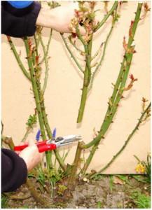 3. Når alle dårlige grene er fjernet, kan der udtyndes i de resterende grene, så der til sidst er en passende mængde sunde grene tilbage