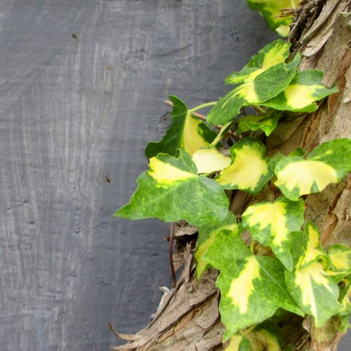 Hvad er forskellen på slyngplanter og klatreplanter?