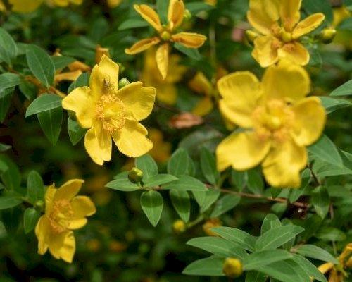 3 blomstrende bunddækkeplanter til haven