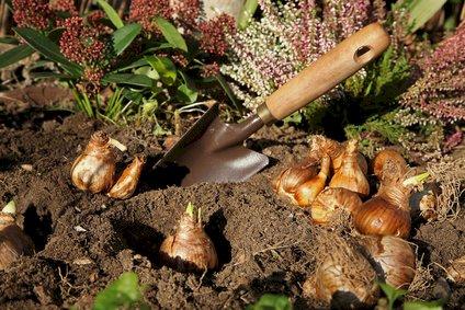 Tulipanløg - Efterår i haven
