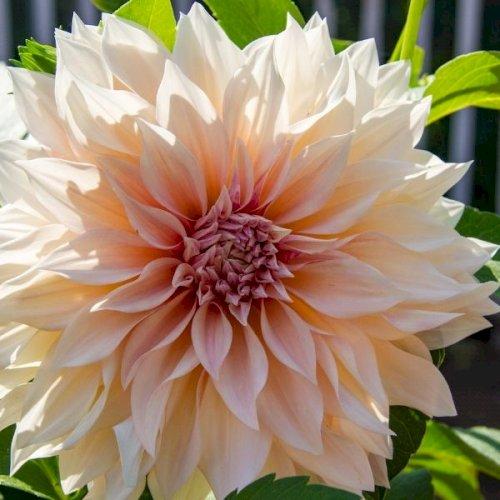 Dahlia med kæmpestore blomster