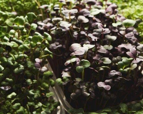 Sådan dyrker du mikrogrønt derhjemme