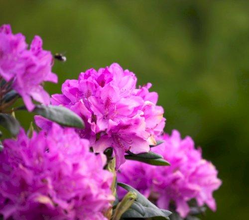 Rhododendron & Surbundsplanter