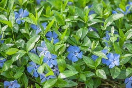 Effektive bunddækkeplanter