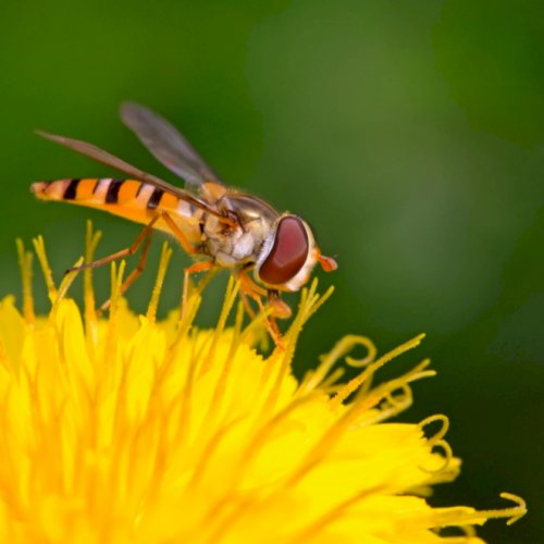 5 vigtige nyttedyr - insekter, du gerne vil have i haven