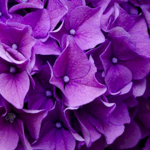 5 Populære Hortensia Lige Nu