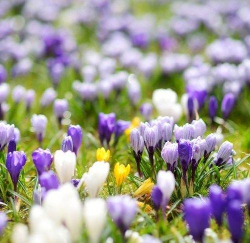 Pift græsplænen op med blomstrende forårsløg