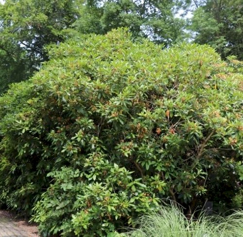 Bed 62 - Gamle rhododendron