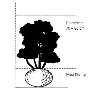 Med klump,- 70-80 cm.