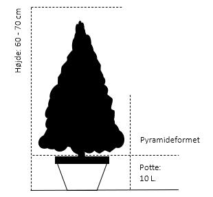 Pyramide 60-70 cm. 10 liter potte