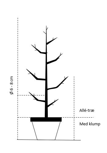 Alletræ, stammeomkreds 6-8 cm. med potte