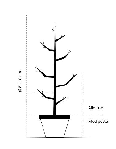Alletræ, Stammeomkreds 8-10 cm. med potte
