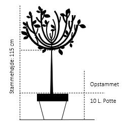 Opstammet 115 cm. 10 liter potte
