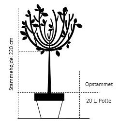 Opstammet 220 cm. 20 liter potte