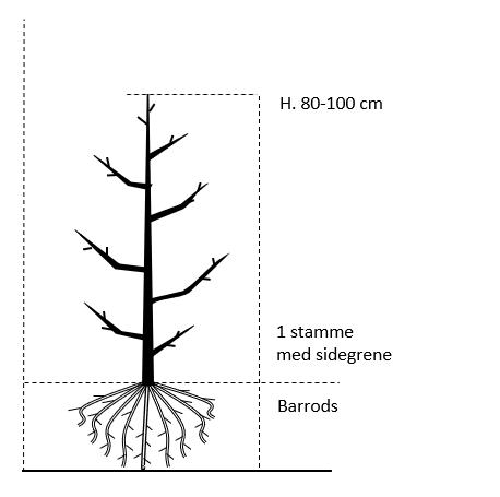 Barrods,- 1 stamme 80-100 cm. med sidegrene