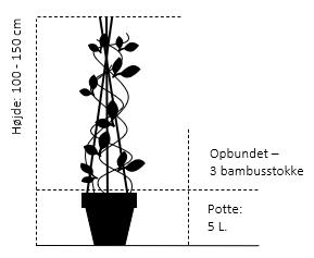 Potte 5,0 liter,- 3 bambusstokke, opbundet 100-150 cm.