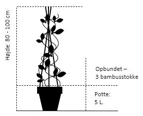 Potte 5,0 liter,- 3 bambusstokke, opbundet 80-100 cm.