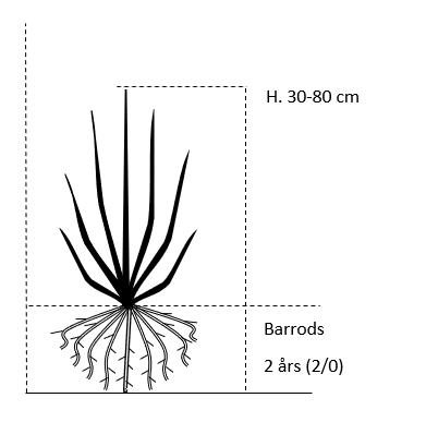 Barrods,- 2 års (2/0) 30-80 cm.