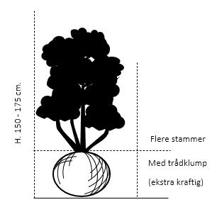 Flerstammet,- 150-175 cm. med trådklump