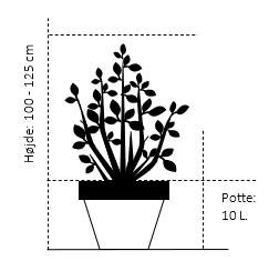 Potte 10 liter,- 100-125 cm.