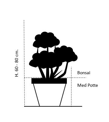 Bonsai 60-80 cm. med potte