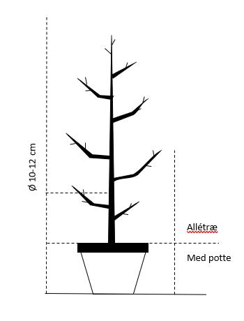Alletræ, Stammeomkreds 10-12 cm. med potte